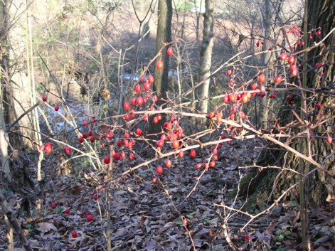 barberry winter